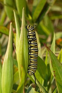 220px-Monarch_Butterfly_Danaus_plexippus_Vertical_Caterpillar_2000px