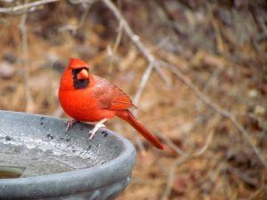 800px-Cardinal_Backyard_Birds_Cary-1