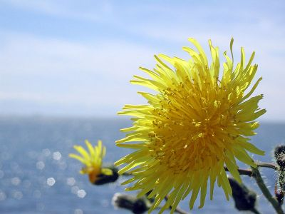 800px-Dandelion_and_Ocean