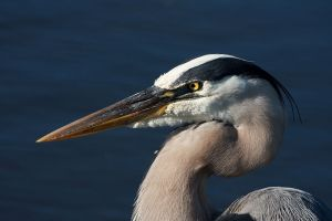 800px-Great_Blue_Heron_0887