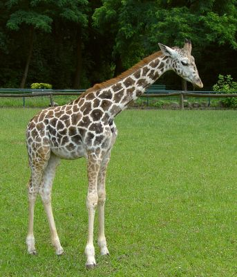 Giraffa_camelopardalis_rothschildi_(young)