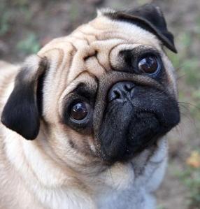 800px-Sad-pug