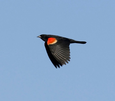 Red-winged_Blackbird_in_Flight_(8601173968)